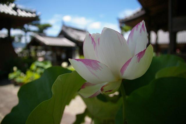 五感で楽しむ蓮の魅力 見て・食べて・体験する1日 〜蓮博士で蓮の名所の副住職に聞く、蓮の楽しみ方〜